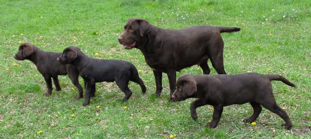 Samadam Registered Labrador Retrievers