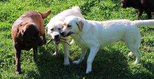 2015 07 16 Opal and Elvira with Ivy playing tug with a stick